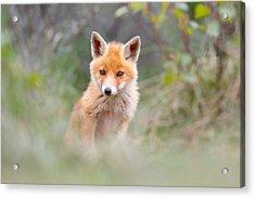 Cute Baby Fox Acrylic Print by Roeselien Raimond