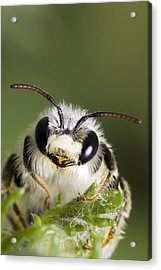 Cute Bee Acrylic Print by Andre Goncalves