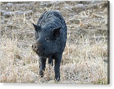 Acrylic Print featuring the photograph Cute Black Pig by James BO Insogna