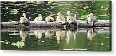 Cute Canadian Geese Chicks Acrylic Print by Pierre Leclerc Photography