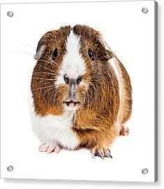 Cute Guinea Pig Looking Forward Acrylic Print