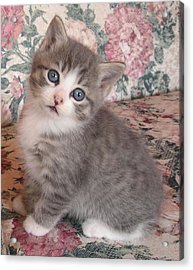 Cute Kitty Acrylic Print by Allison Prior