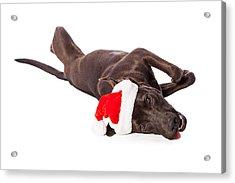 Cute Labrador Dog Laying Wearing Santa Hat  Acrylic Print by Susan Schmitz