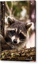 Acrylic Print featuring the photograph Cute Little Raccoon  by Claudia Abbott