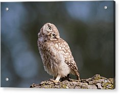 Cute, Moi? - Baby Little Owl Acrylic Print by Roeselien Raimond