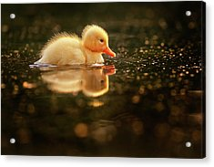 Cute Overload Series - Baby Duck Acrylic Print