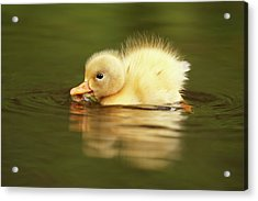 Cute Overload Series - The Very Hungry Duckling Acrylic Print