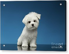 Cute Pure White Maltese Puppy Standing And Curiously Looking In Camera Isolated On Blue Background Acrylic Print