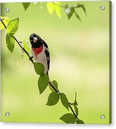 Cute Rose-breasted Grosbeak Acrylic Print
