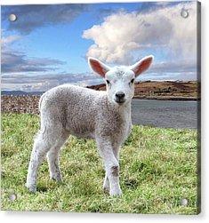 Cute Spring Lamb Posing Beside The Wild Atlantic Way In Ireland Acrylic Print