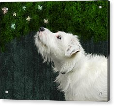 Cute White Jack Russel Dog Acrylic Print