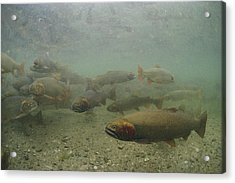 Cutthroat Trout Swim Acrylic Print by Michael S. Quinton