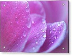 Cyclamen Flower Macro Acrylic Print
