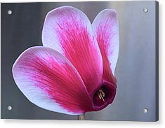Acrylic Print featuring the photograph Cyclamen Portrait. by Terence Davis