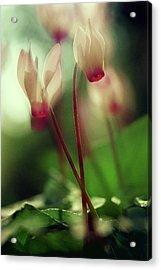 Cyclamens Acrylic Print by Dubi Roman