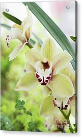 Acrylic Print featuring the photograph  Cymbidium Orchid by Tim Gainey