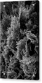 Cypress Branches No.1 Acrylic Print