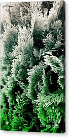 Cypress Branches No.5 Acrylic Print