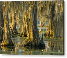 Cypress Canopy Uncovered Acrylic Print