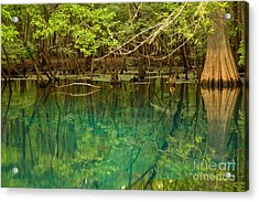 Cypress In Manatee Acrylic Print by Adam Jewell