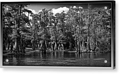 Cypress On The Suwannee Acrylic Print