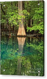Cypress Reflections In Manatee Spring Waters Acrylic Print by Adam Jewell