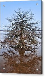 Cypress Tree In The Marsh Acrylic Print by Bill Perry