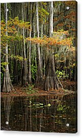 Cypress Trees Forest Acrylic Print