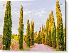 Cypress Trees In Tuscany Acrylic Print by Ariane Moshayedi