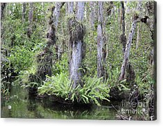 Cypress Trees With Ferns And Epiphytes Acrylic Print