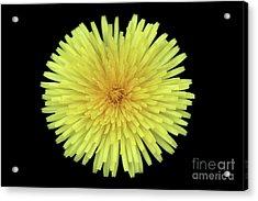 Dandelion Acrylic Print by Jim Beckwith