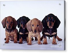 Dachshund Puppies  Acrylic Print by Carolyn McKeone and Photo Researchers