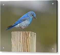 Daddy Bluebird Guarding Nest Acrylic Print