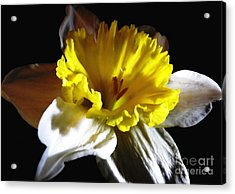Acrylic Print featuring the photograph Daffodil 2 by Rose Santuci-Sofranko