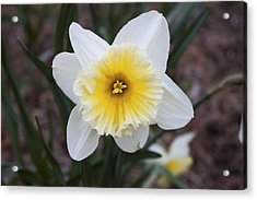 Acrylic Print featuring the photograph Daffodil At Black Creek by Jeff Severson