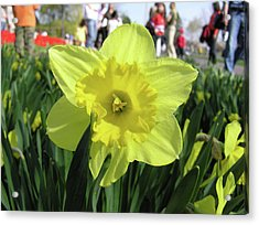 Daffodil Close Up Acrylic Print by Richard Mitchell