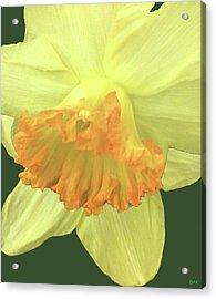 Daffodil Down Acrylic Print by Debra     Vatalaro