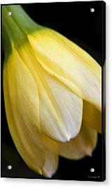 Daffodil Droop Acrylic Print by Daniel G Walczyk