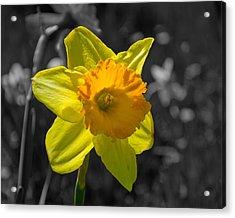 Daffodil Acrylic Print by Eric Harbaugh