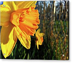 Daffodil Evening Acrylic Print