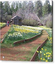 Daffodil Hill Pathway Acrylic Print