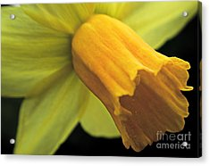 Daffodil - Narcissus - Portrait Acrylic Print