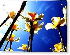 Daffodil Acrylic Print by Nathan Grisham