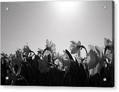 Daffodil Party Acrylic Print by Karla DeCamp