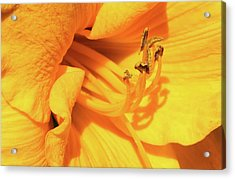 Daffodil - Peeping Tom 06 Acrylic Print