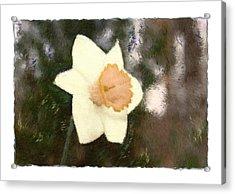 Daffodil Acrylic Print by Sandy Belk