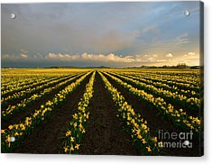 Acrylic Print featuring the photograph Daffodil Storm by Mike Dawson