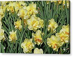 Acrylic Print featuring the photograph Daffodilia by Lynda Lehmann