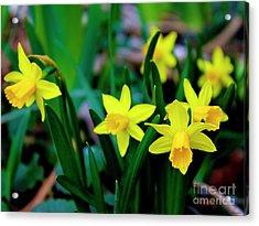 Daffodils A Symbol Of Spring Acrylic Print