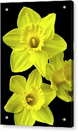 Acrylic Print featuring the photograph Daffodils by Christina Rollo